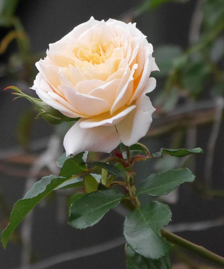 ジンジャー・シラバブ(ツルバラ)の花がまだ咲いている。2019年1-11.jpg