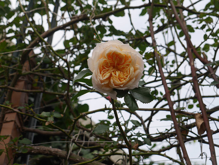 ジンジャー・シラバブ(ツルバラ)の花がまだ咲いている。2019年1-2.jpg