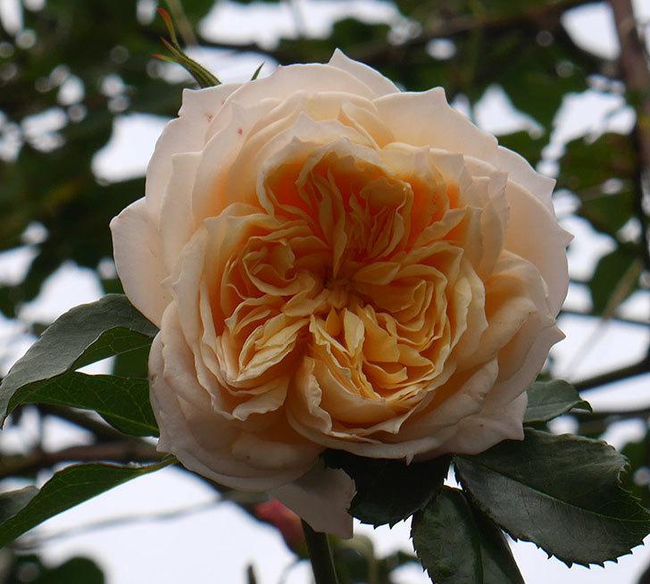 ジンジャー・シラバブ(ツルバラ)の花がまだ咲いている。2019年1-3.jpg