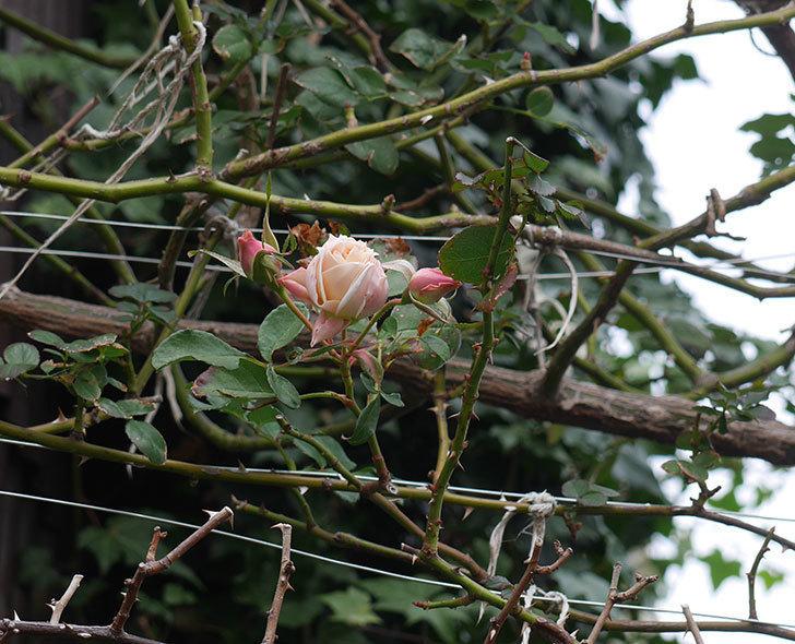 ジンジャー・シラバブ(ツルバラ)の花がまだ咲いている。2019年1-4.jpg