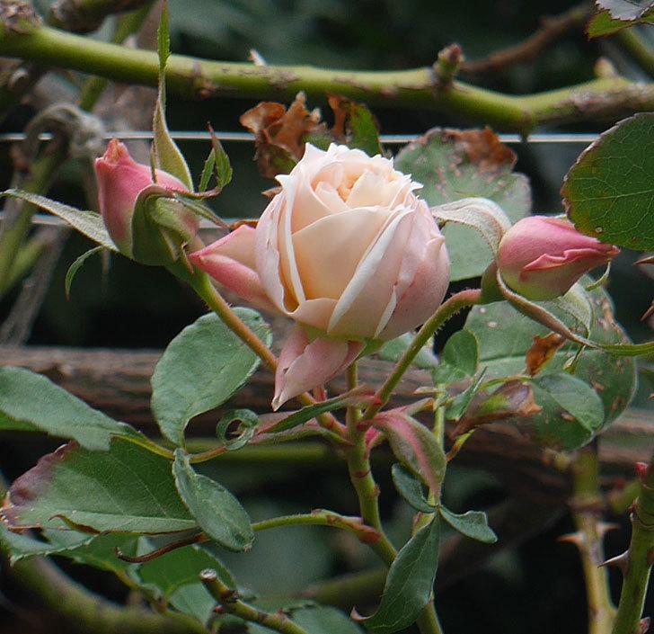 ジンジャー・シラバブ(ツルバラ)の花がまだ咲いている。2019年1-5.jpg