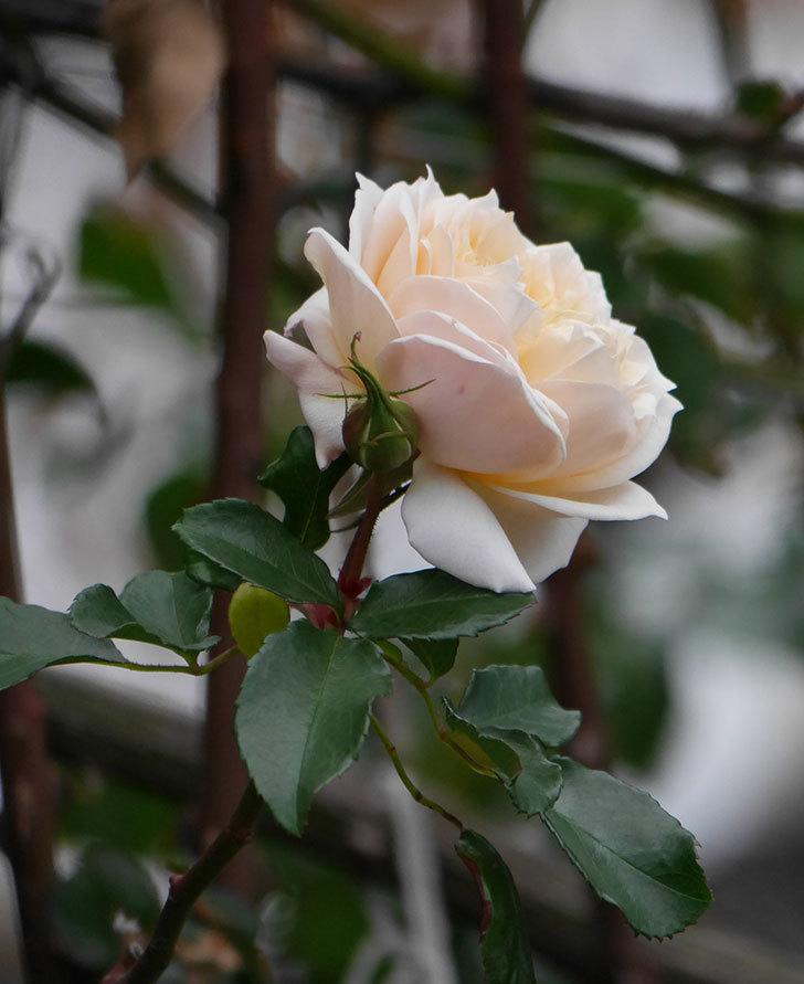 ジンジャー・シラバブ(ツルバラ)の花がまだ咲いている。2019年1-6.jpg