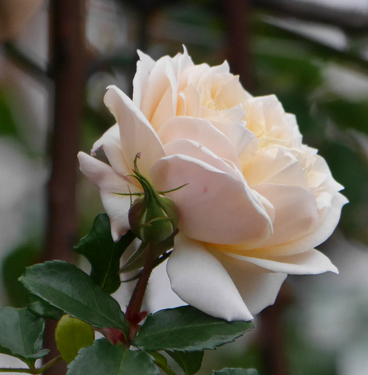 ジンジャー・シラバブ(ツルバラ)の花がまだ咲いている。2019年1-7.jpg