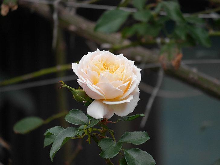 ジンジャー・シラバブ(ツルバラ)の花がまだ咲いている。2019年1-8.jpg