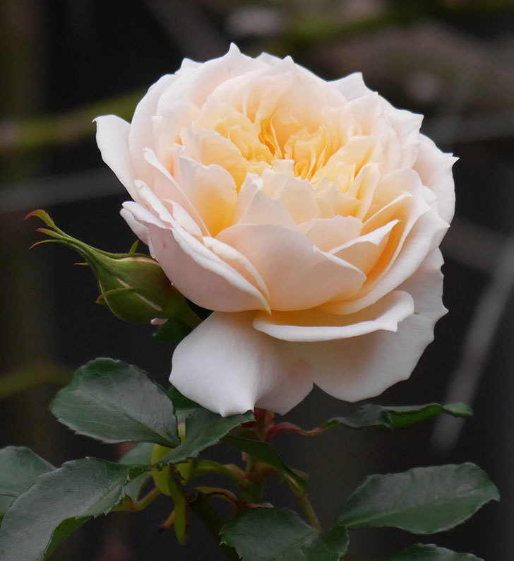 ジンジャー・シラバブ(ツルバラ)の花がまだ咲いている。2019年1-9.jpg