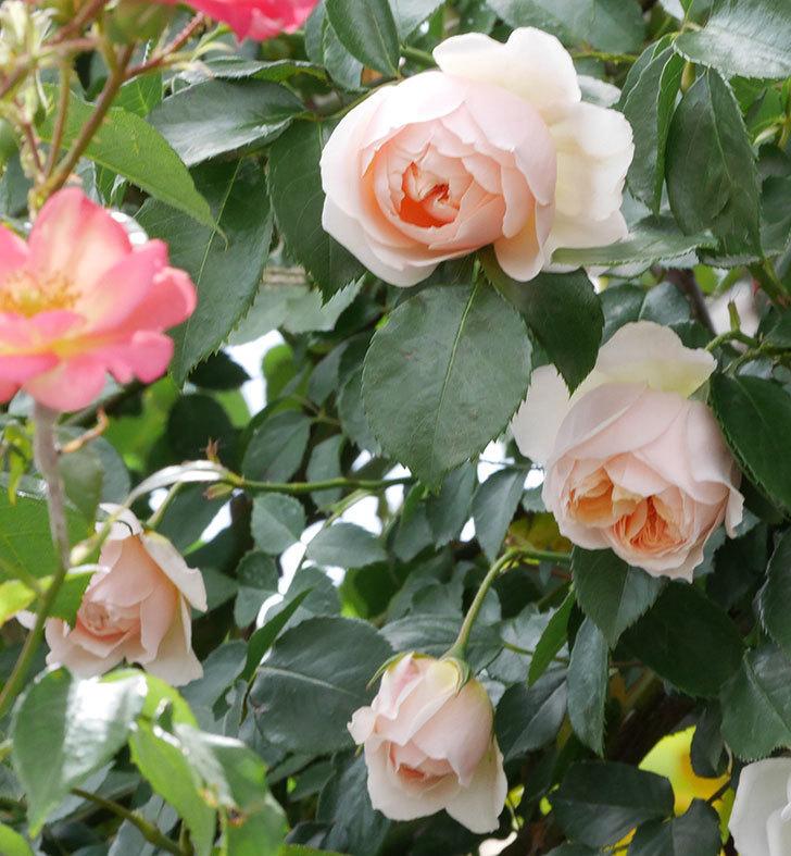 ジンジャー・シラバブ(ツルバラ)の花が咲いた。2019年-1.jpg