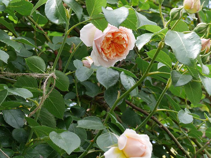 ジンジャー・シラバブ(ツルバラ)の花が咲いた。2019年-10.jpg
