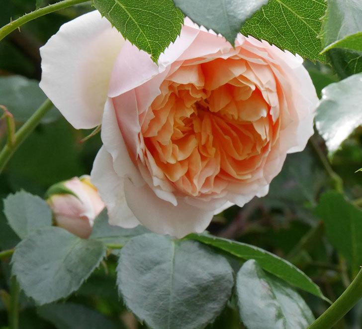 ジンジャー・シラバブ(ツルバラ)の花が咲いた。2019年-11.jpg