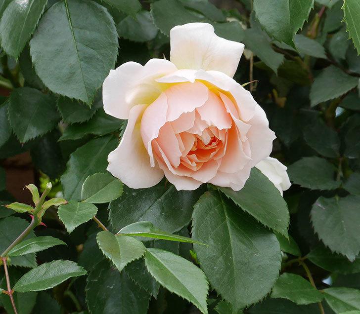ジンジャー・シラバブ(ツルバラ)の花が咲いた。2019年-13.jpg