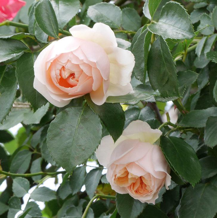 ジンジャー・シラバブ(ツルバラ)の花が咲いた。2019年-14.jpg