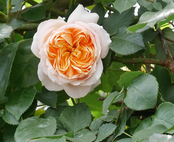 ジンジャー・シラバブ(ツルバラ)の花が咲いた。2019年-15.jpg