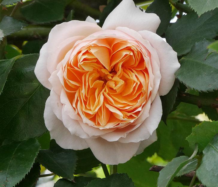 ジンジャー・シラバブ(ツルバラ)の花が咲いた。2019年-16.jpg