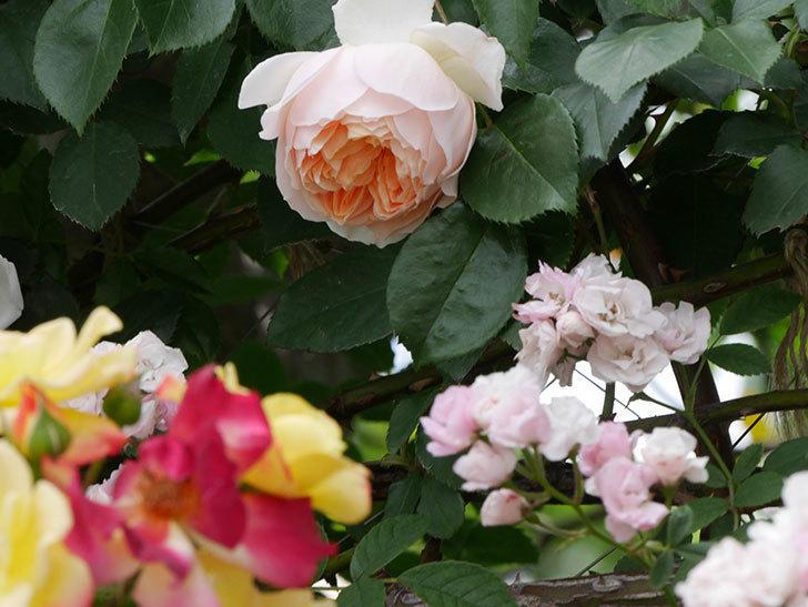ジンジャー・シラバブ(ツルバラ)の花が咲いた。2019年-17.jpg