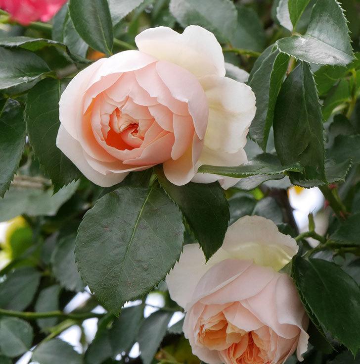 ジンジャー・シラバブ(ツルバラ)の花が咲いた。2019年-18.jpg