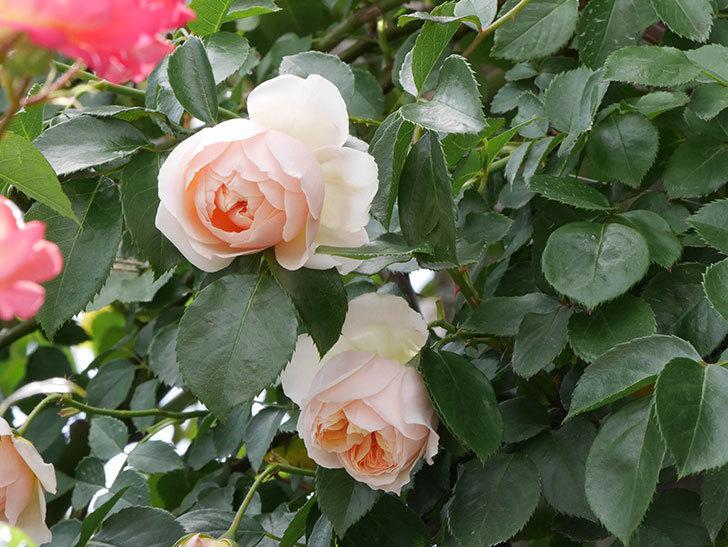 ジンジャー・シラバブ(ツルバラ)の花が咲いた。2019年-19.jpg