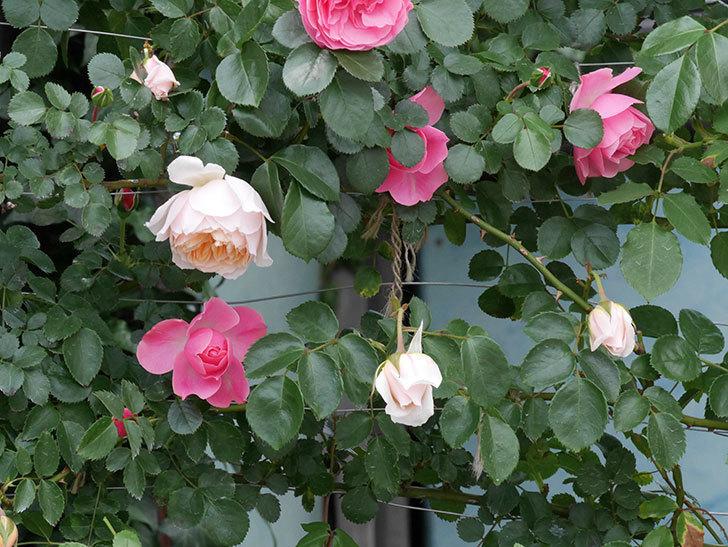 ジンジャー・シラバブ(ツルバラ)の花が咲いた。2019年-2.jpg