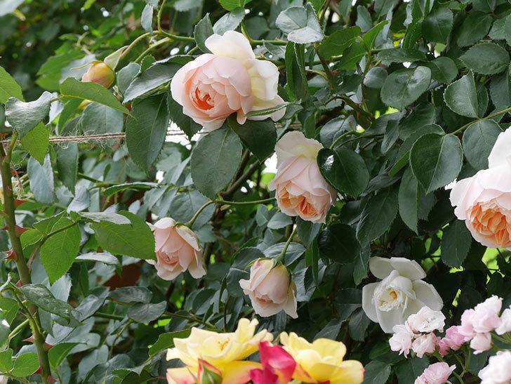 ジンジャー・シラバブ(ツルバラ)の花が咲いた。2019年-20.jpg