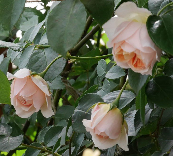 ジンジャー・シラバブ(ツルバラ)の花が咲いた。2019年-21.jpg