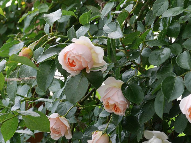 ジンジャー・シラバブ(ツルバラ)の花が咲いた。2019年-22.jpg
