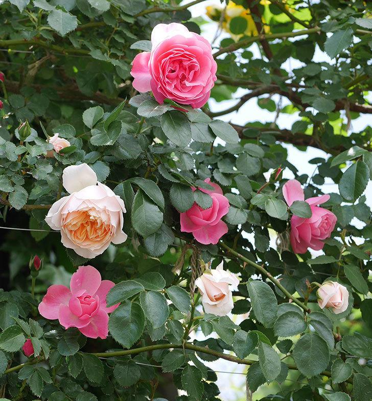 ジンジャー・シラバブ(ツルバラ)の花が咲いた。2019年-23.jpg