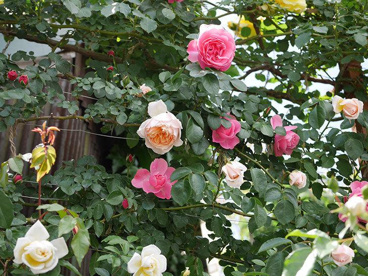 ジンジャー・シラバブ(ツルバラ)の花が咲いた。2019年-24.jpg