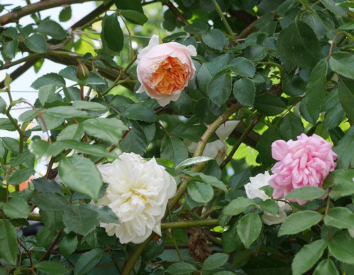 ジンジャー・シラバブ(ツルバラ)の花が咲いた。2019年-25.jpg