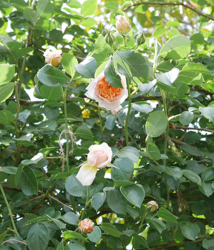 ジンジャー・シラバブ(ツルバラ)の花が咲いた。2019年-26.jpg