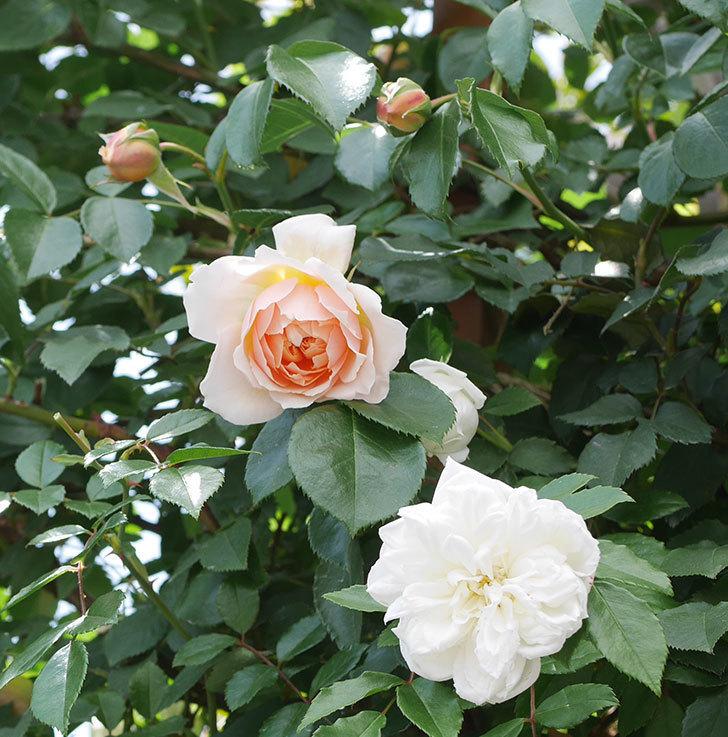 ジンジャー・シラバブ(ツルバラ)の花が咲いた。2019年-27.jpg