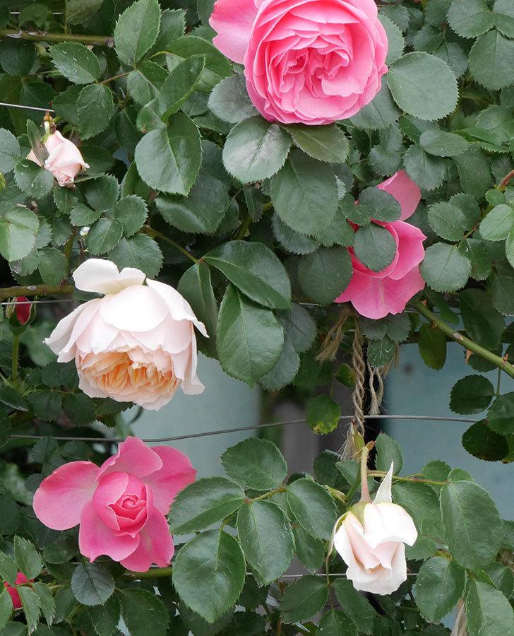ジンジャー・シラバブ(ツルバラ)の花が咲いた。2019年-3.jpg
