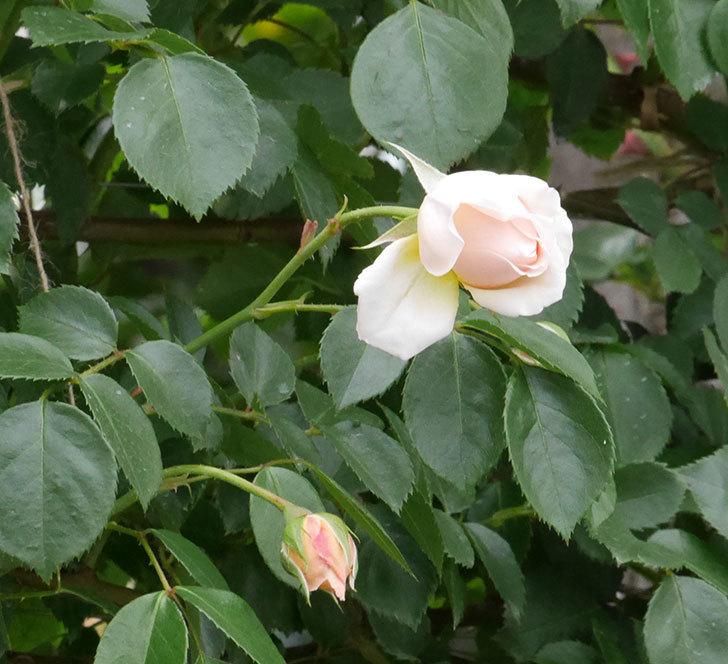 ジンジャー・シラバブ(ツルバラ)の花が咲いた。2019年-5.jpg