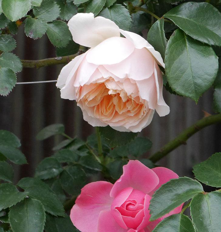 ジンジャー・シラバブ(ツルバラ)の花が咲いた。2019年-6.jpg