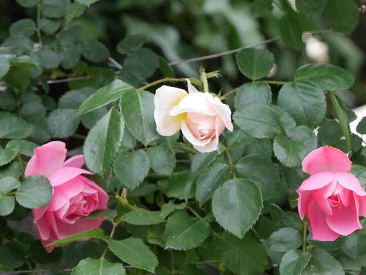 ジンジャー・シラバブ(ツルバラ)の花が咲いた。2019年-7.jpg