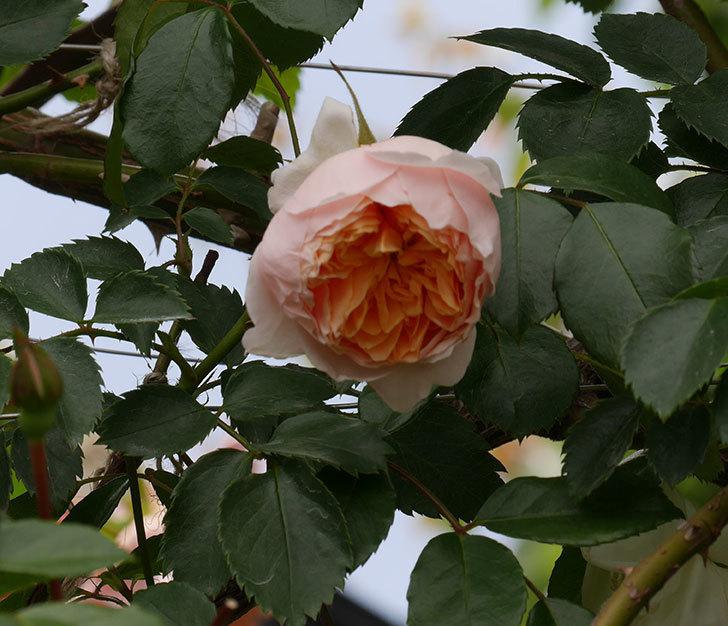 ジンジャー・シラバブ(ツルバラ)の花が咲いた。2019年-8.jpg