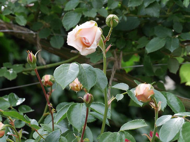 ジンジャー・シラバブ(ツルバラ)の花が咲いた。2019年-9.jpg