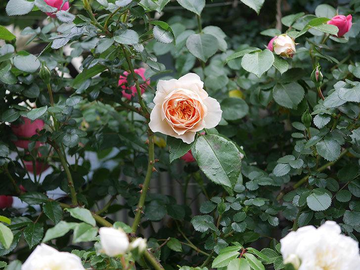 ジンジャー・シラバブ(ツルバラ)の花が咲いた。2020年-01.jpg