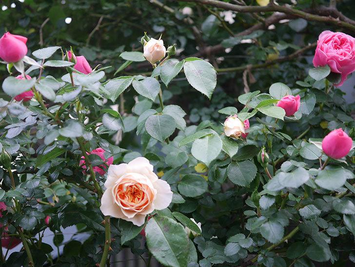 ジンジャー・シラバブ(ツルバラ)の花が咲いた。2020年-02.jpg