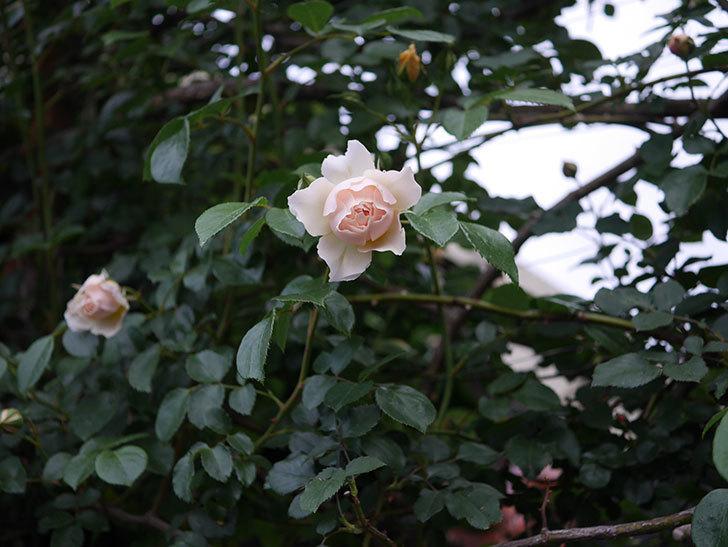 ジンジャー・シラバブ(ツルバラ)の花が咲いた。2020年-03.jpg