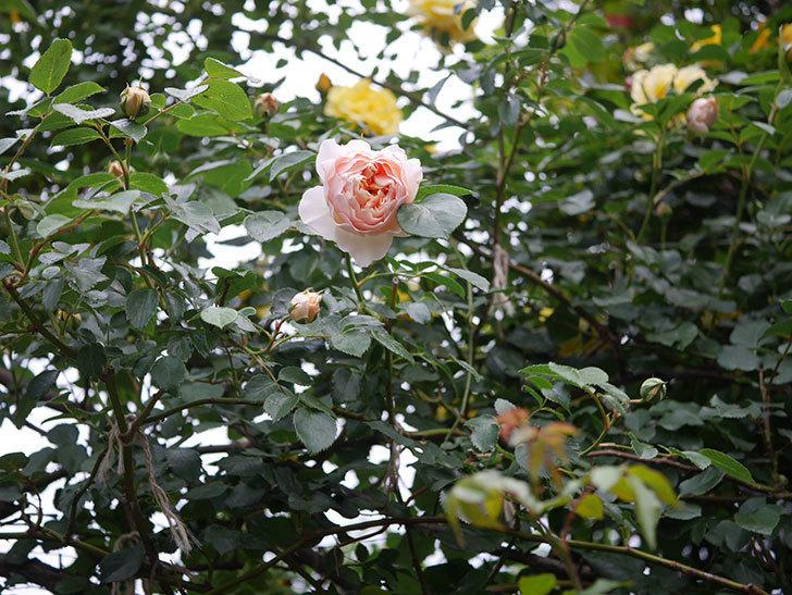 ジンジャー・シラバブ(ツルバラ)の花が咲いた。2020年-04.jpg