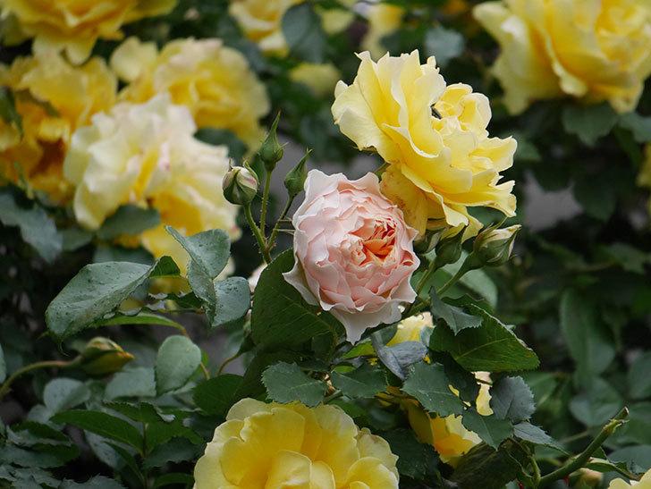 ジンジャー・シラバブ(ツルバラ)の花が咲いた。2020年-05.jpg
