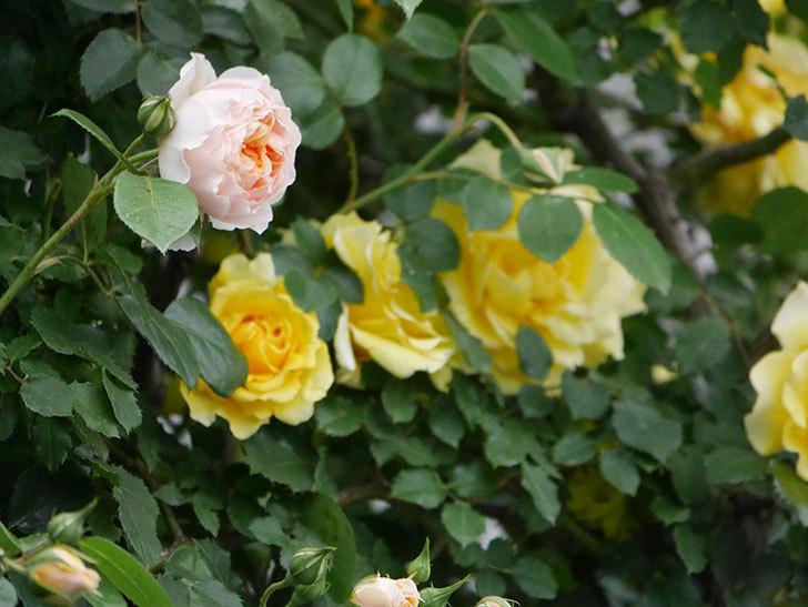 ジンジャー・シラバブ(ツルバラ)の花が咲いた。2020年-06.jpg