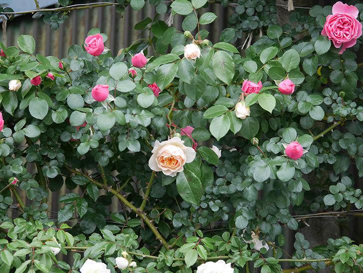 ジンジャー・シラバブ(ツルバラ)の花が咲いた。2020年-08.jpg