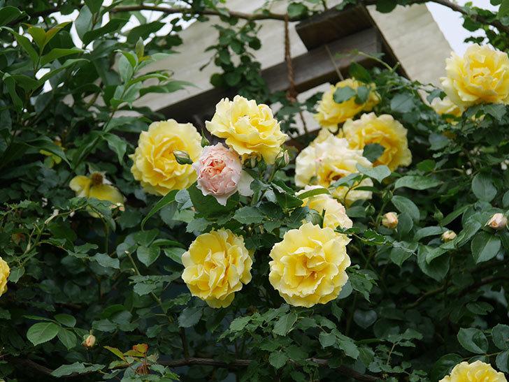 ジンジャー・シラバブ(ツルバラ)の花が咲いた。2020年-09.jpg