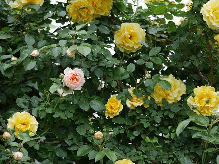 ジンジャー・シラバブ(ツルバラ)の花が咲いた。2020年-10.jpg