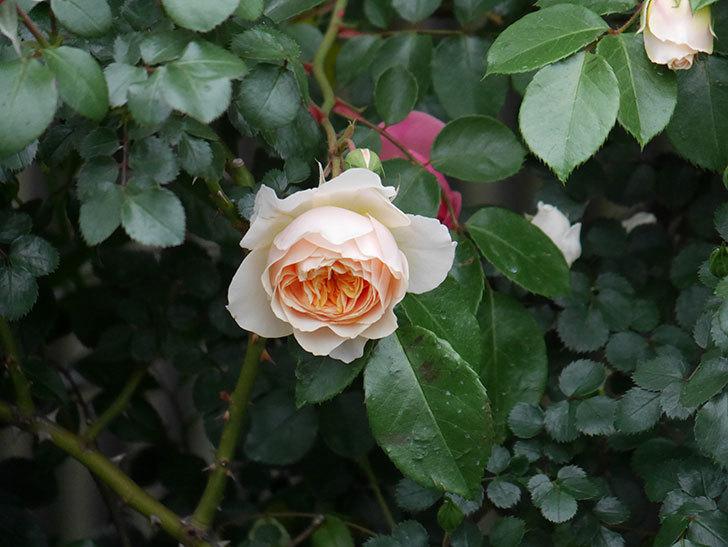 ジンジャー・シラバブ(ツルバラ)の花が咲いた。2020年-11.jpg