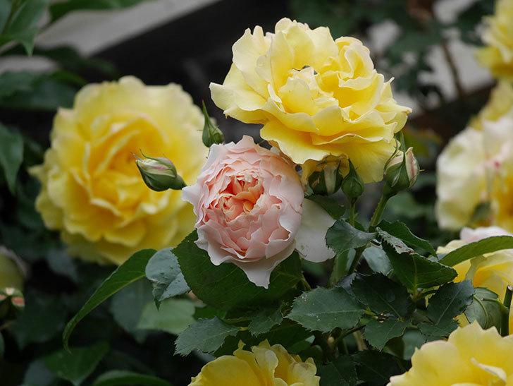 ジンジャー・シラバブ(ツルバラ)の花が咲いた。2020年-12.jpg