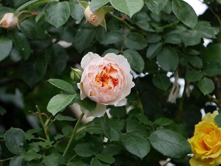 ジンジャー・シラバブ(ツルバラ)の花が咲いた。2020年-13.jpg