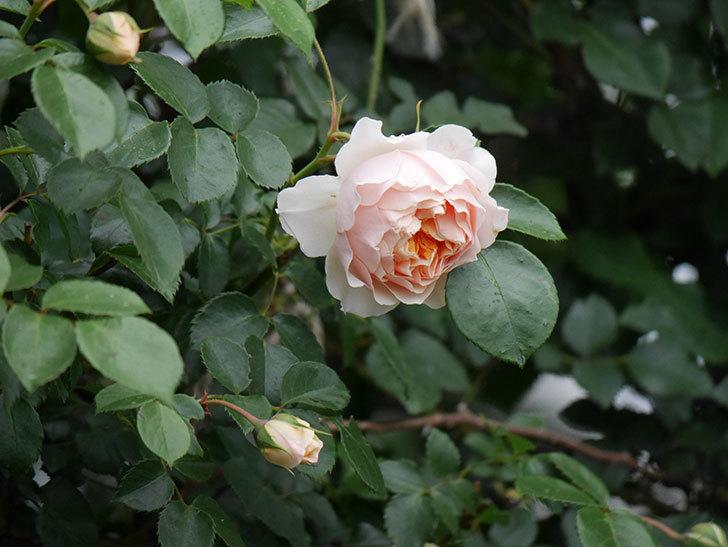 ジンジャー・シラバブ(ツルバラ)の花が咲いた。2020年-14.jpg
