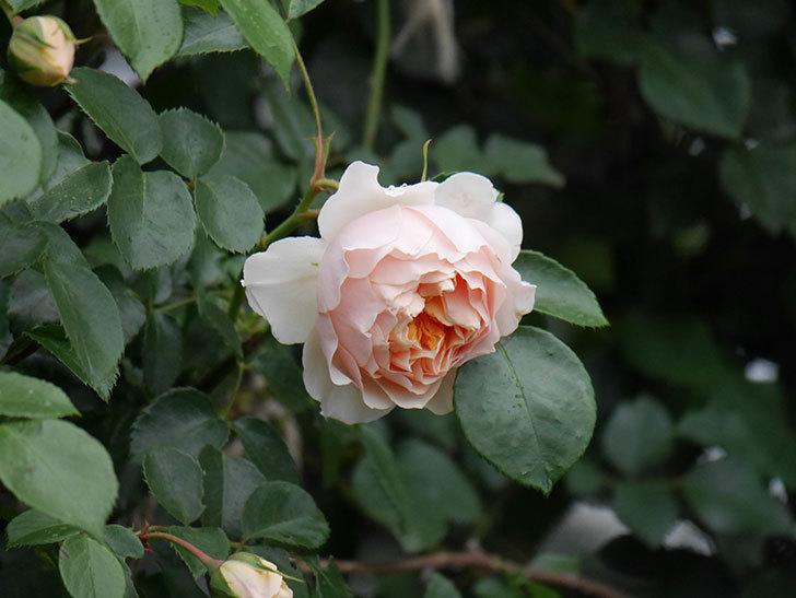 ジンジャー・シラバブ(ツルバラ)の花が咲いた。2020年-15.jpg
