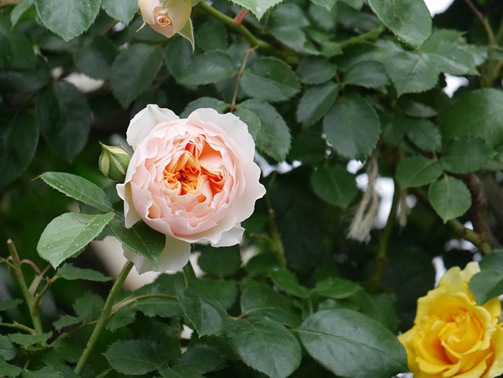 ジンジャー・シラバブ(ツルバラ)の花が咲いた。2020年-16.jpg