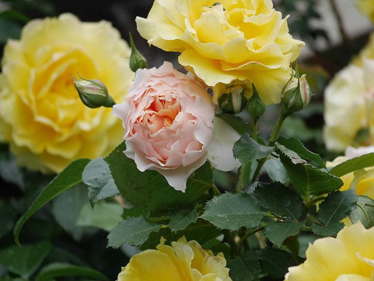 ジンジャー・シラバブ(ツルバラ)の花が咲いた。2020年-17.jpg